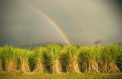 Reliable water supply means Bundaberg sugar cane can thrive
